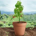 Tomatensamen kostenlos
